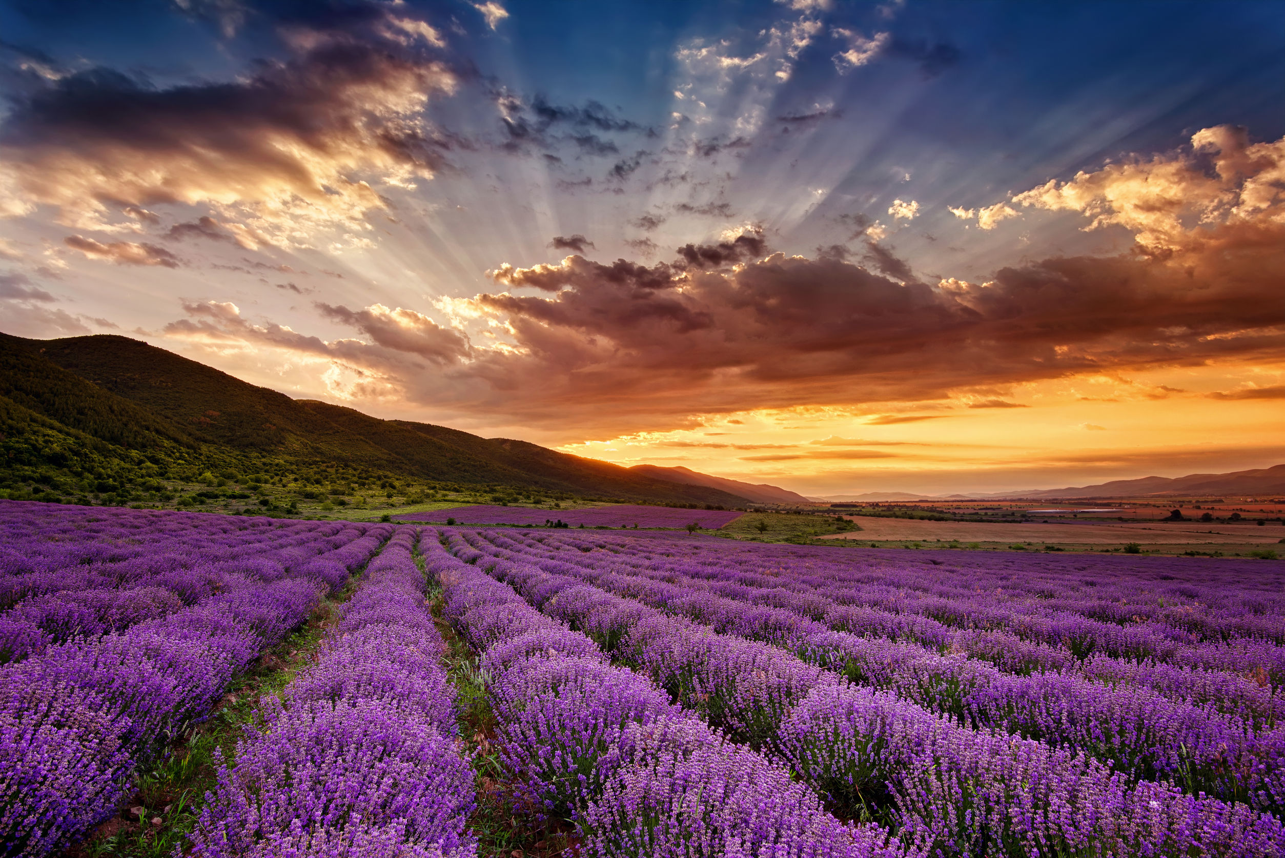 30633285 - stunning landscape with lavender field at sunrise