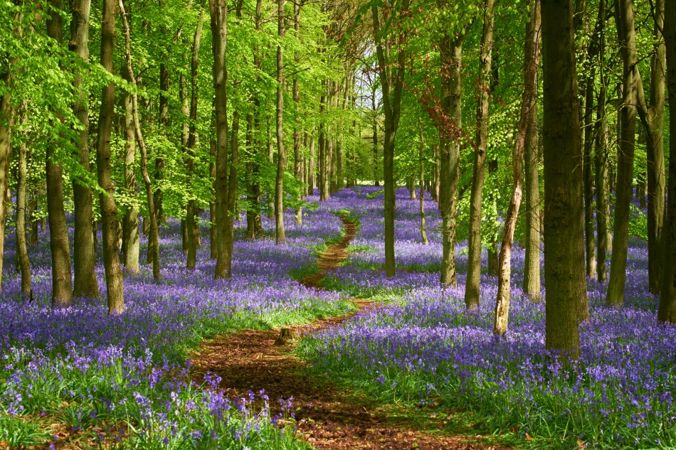 Path Through The Bluebell Wood In Springtime